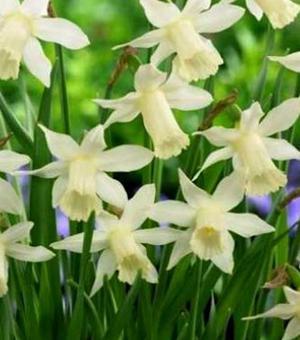 Narcis Narcis Elka