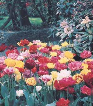 Dubbele Laat Tulpen Gemengd