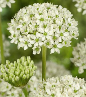 Allium Multibulbosum (Nigrum)