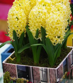 Geprepareerde Hyacint Prepared Hyacinth City of Haarlem