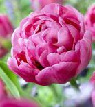 Tulip Amazing Grace