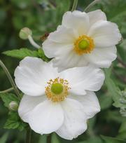 Anemone Honorine Jobert - P9 (Herfst Anemoon)