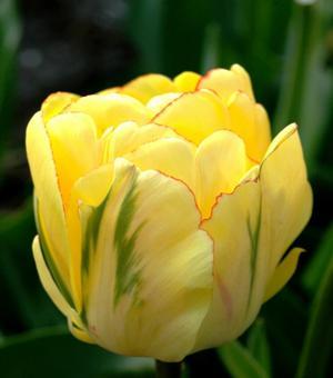 Tulp Akebono