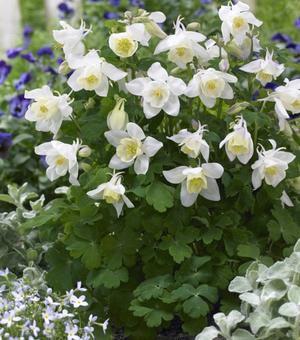 Aquilegia Spring Magic White - P9 (Akelei)