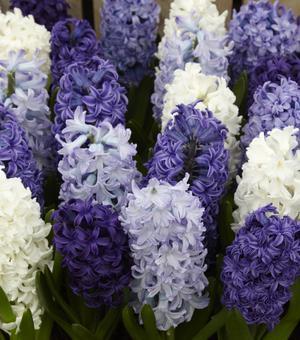 Hyacinten Gemengd - Kleuren van de Oceaan