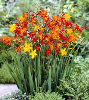 Crocosmia Mixture Small Flowering