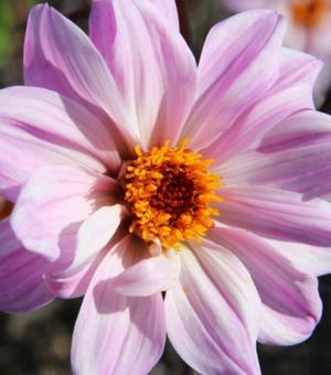 Dahlia Bishop of Leicester ®