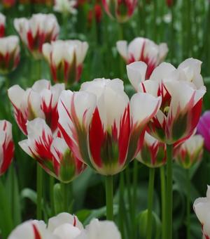 Tulp Flaming Spring Green