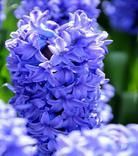 Hyacint Delft Blue