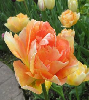 Tulp Charming Beauty