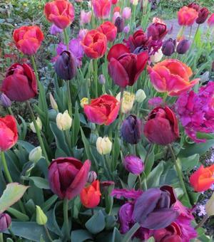 Flamenco Tulpen Collectie