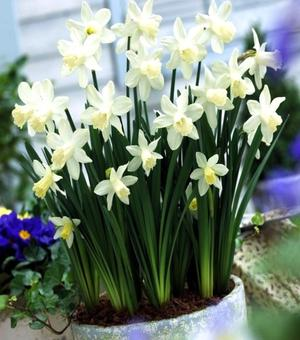 Narcissus Snow Baby