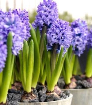 Präparierte Hyazinthe Delft Blue