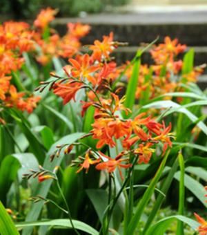Crocosmia Carmine Brilliant