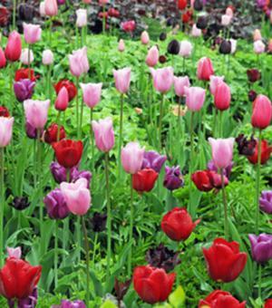 Einfache Späte Tulpen Mischung