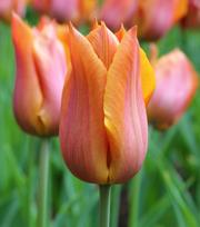 Tulpe Request