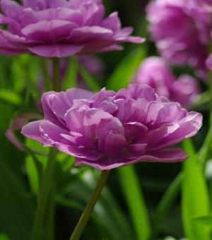 Bild Tulip Blue Diamond