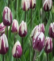 Tulpe Rem's Favourite