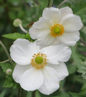 Anemone Hororine Jobert
