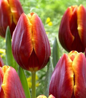 Tulip Devenish