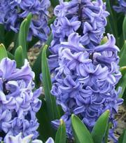 Hyazinthe Blue Star