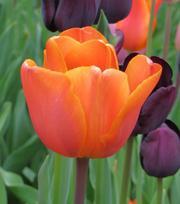 Tulpe Annie Schilder
