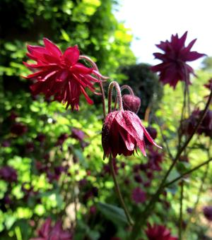 Aquilegia Ruby Port