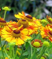 Helenium Sahin's Early Flower