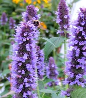Agastache Black Adder