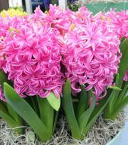 Hyazinthe Pink Pearl