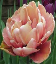 Tulpe La Belle Epoque