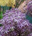 Allium Metallic Shine