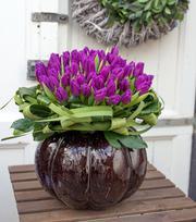 Tulpe Purple Flag