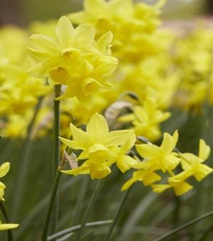 Narcissus Sunlight Sensation