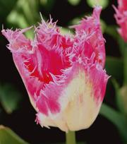 Tulipe Huis ten Bosch