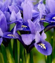Iris Alida ®