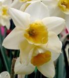 Narcisse Sweet Love