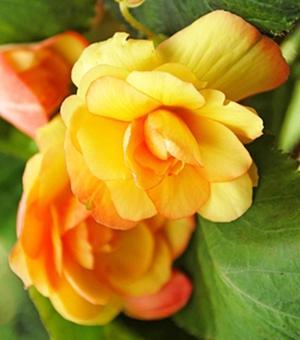 Bégonia Illumination Apricot