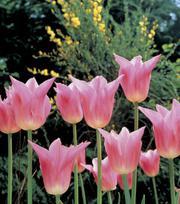 Tulipe China Pink