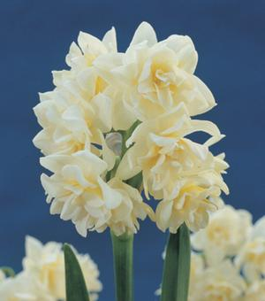 Narcisse à Floraison d'Intérieur Erlicheer