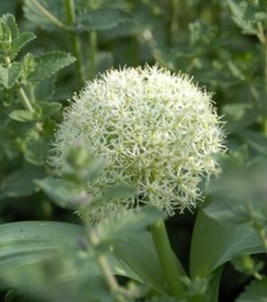 Allium Karataviense Ivory Queen