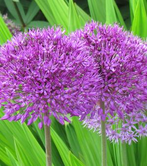 Allium Purple Sensation