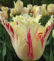 Tulip Carrousel