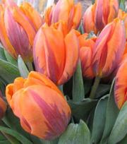 Tulipe Princess Irene
