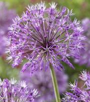 Allium Akbulak