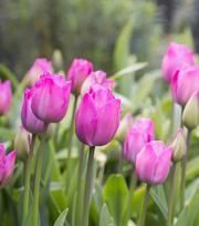 Tulipe Attila