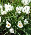 Crocus Chrysanthus Snowbunting