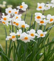 Narcisse Geranium