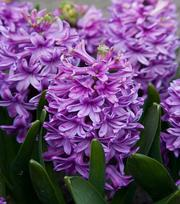 Jacinthe Purple Voice