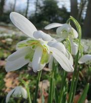 Perce-neige (Flore Pleno)